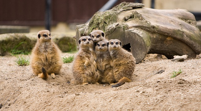 Image of Family of Meercats