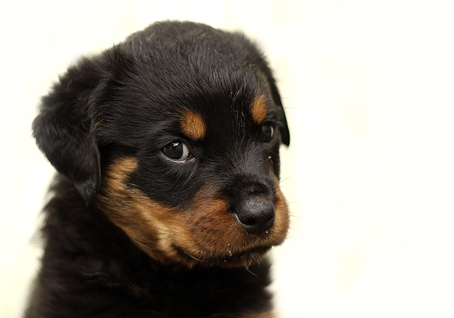 Image of Rottweiler for Dog Lovers