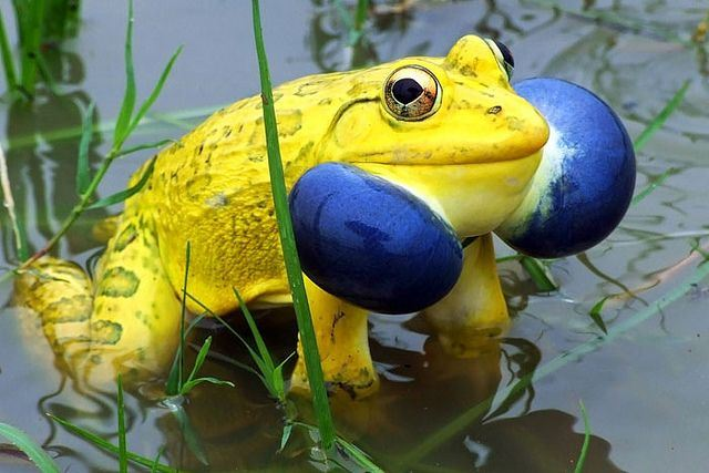 What makes India unique - Indian bullfrog